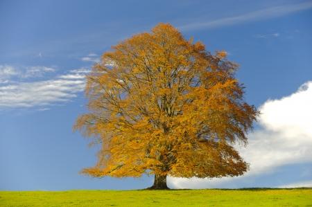 beech tree: single beech tree at autumn  Stock Photo