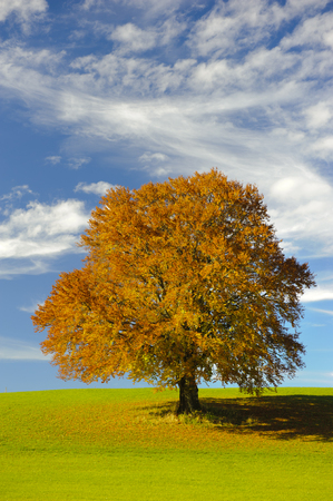 beech tree beech: single big beech tree at autumn in Bavaria