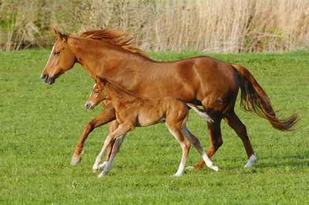 Mare horse in gallop with its foal 스톡 콘텐츠