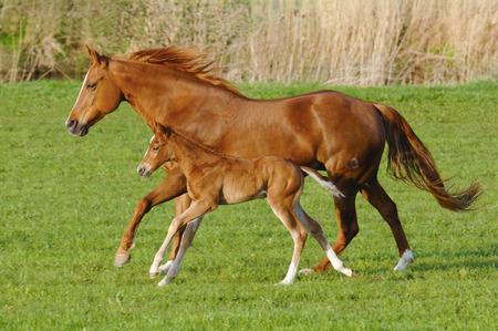 Merrie paard in galop met haar veulen Stockfoto