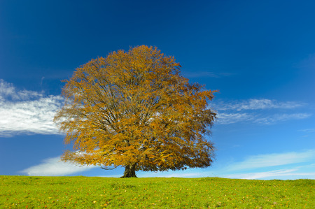 single big beech tree at autumn in Bavaria