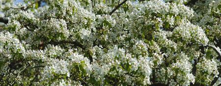 panorama of blooming apple tree photo