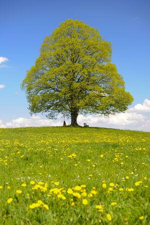 single linden tree in Bavaria at spring