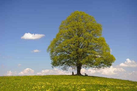 tilo: árbol grande solo linden en Baviera