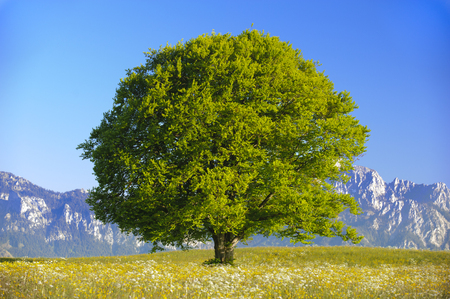 single big beech tree