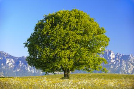 Pojedynczy wielkie drzewo buk Zdjęcie Seryjne