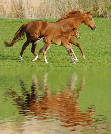 Mare horse in gallop with its foal mirroring at water surface photo