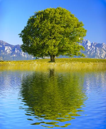 jeden: jeden velký starý strom zrcadlení na vodní hladině
