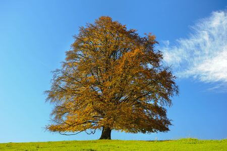beech tree beech: big single beech tree at autumn in meadow Stock Photo