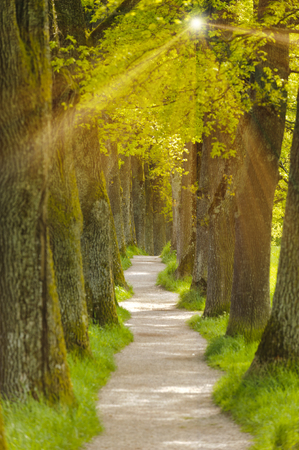 big oak tree alley with foot path and sun rays in Bavaria