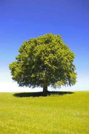 grande albero di faggio singolo a primavera nel prato Archivio Fotografico