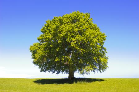 single big old beech tree at spring Standard-Bild