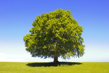 grande albero di faggio vecchio singolo a primavera Archivio Fotografico