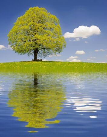 tilo: grande y viejo árbol de tilo que refleja en el lago Foto de archivo