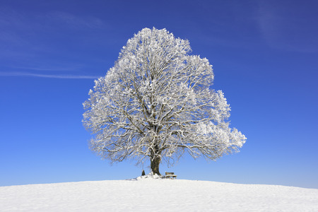 snow tree: single big old linden tree at winter