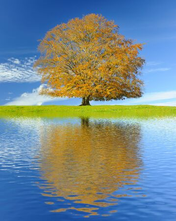 mirroring: big old beech tree with mirroring in lake at autumn Stock Photo