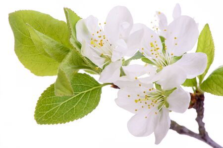 Twigs: isolated twig with leaves and bloom of plum tree Stock Photo