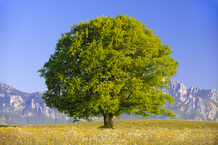 single leaf: single big old beech tree at spring Stock Photo