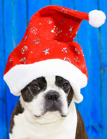 funny boston terrier: dog Boston Terrier with xmas hat