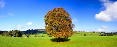 beech tree beech: big old beech tree at fall in meadow