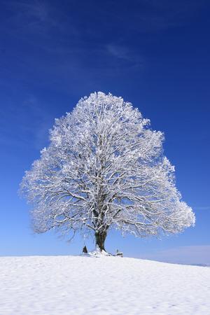 linden tree: big old linden tree in winter with snow