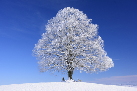 tilo: gran viejo tilo en invierno con nieve Foto de archivo
