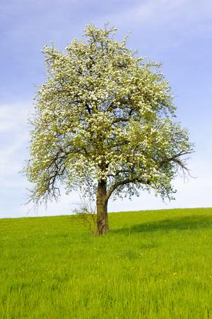 big apple: single big apple tree at spring