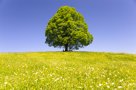 linden tree: single big old linden tree isolated in meadow at spring