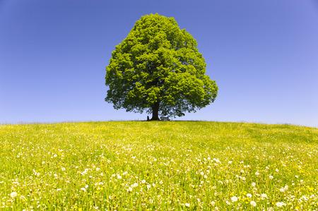 unico grande vecchio albero di tiglio isolato nel prato a primavera