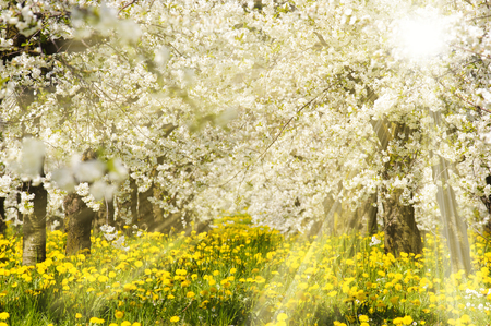 white blossom: sun rays at blooming apple tree