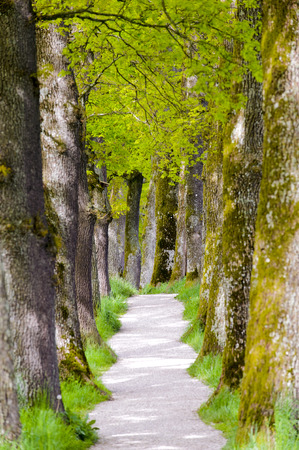 large tree: oak tree alley with small footpath
