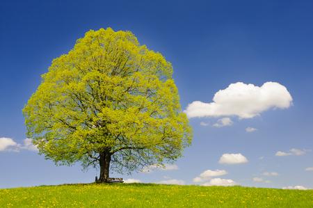 unico grande albero di tiglio nel prato a primavera Archivio Fotografico