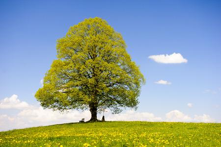enkele grote lindeboom in weide in de lente Stockfoto
