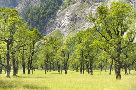 maple trees: maple trees in Bavaria at alps mountains