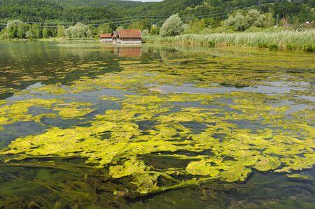 algal: algal bloom in lake in Bavaria