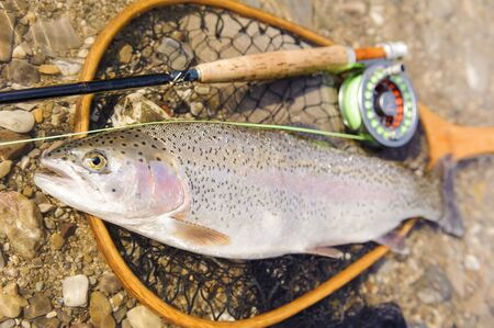 flyfishing: rainbow trout caught by flyfishing Stock Photo