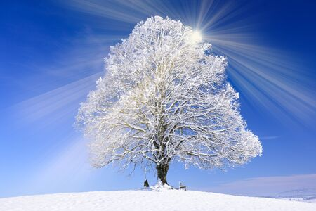 big old linden tree in winter with snow and hoarfrost Stock Photo