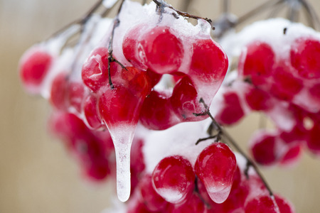 very cold: red berry with frost and ice at very cold winter day