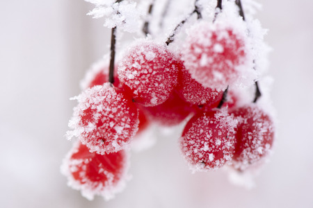 red berry with frost and ice at very cold winter day