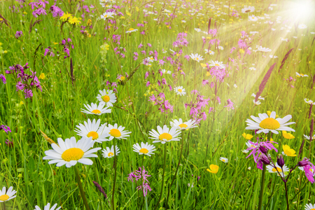 spring meadow with beautiful flowers and sun rays in background Stock Photo