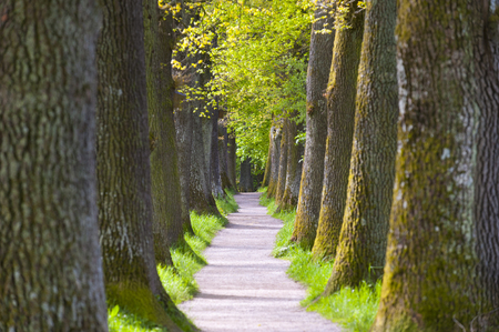 oak trees: small avenue with big and old oak trees
