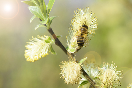 willow tree in bloom with bee Stock Photo