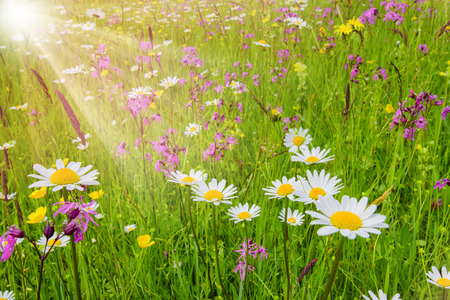 panoramic meadow with many flowers at spring and sun beams