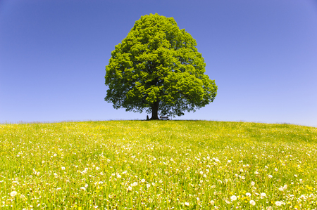 single big old linden tree isolated in meadow at spring