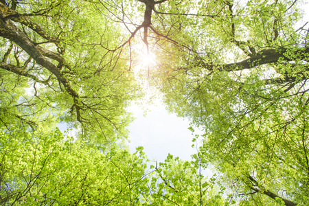 view to sky with sunbeams through treetops of linden trees
