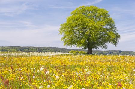 single big linden tree in field with perfect treetop Foto de archivo
