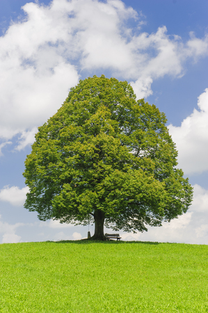single big linden tree in field with perfect treetop Stok Fotoğraf