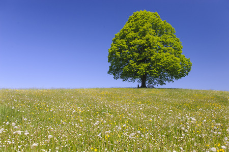 single big linden tree in field with perfect treetop Stock Photo