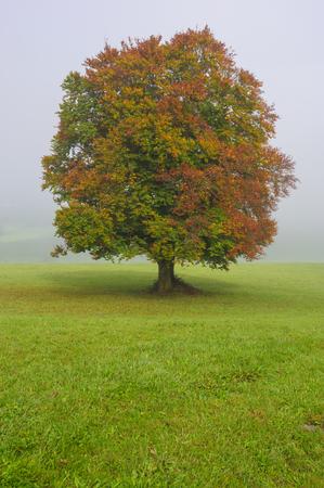Haya grande en campo con copa de árbol perfecta Foto de archivo - 98339433