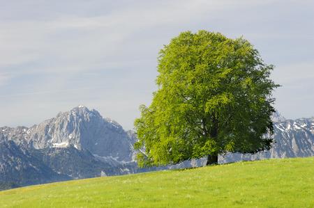 single big beech tree in field with perfect treetop
